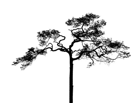 phukradueng: Silhouetted tall pine tree in black isolated on white background. This tree is on the walk way inside Phukradueng national park in Loei province of Thailand.
