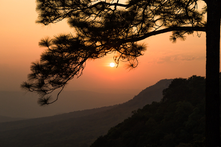 phukradueng: Sunset behind the silhouetted branch of pine tree at Pha Makdook cliff in Phukradueng national park of Loei province, Thailand.