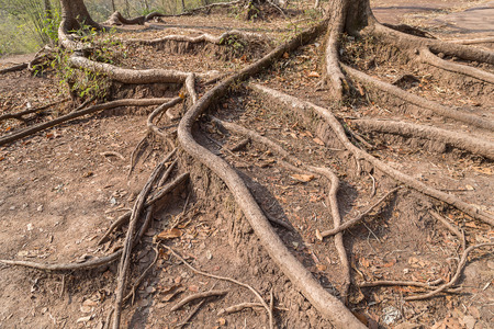 adhere: Long root of tree adhere on the way up to Phukradueng national park of Loei, Thailand. Stock Photo