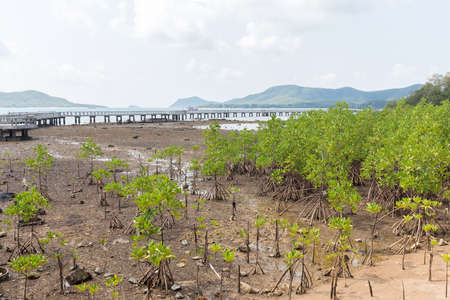 brackish water: Green leaf mangrove trees grow on the wet brackish water beach or mangrove forest in Thailand.