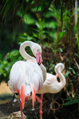gnaw: Close focus on eye of flamingo pecking its wing in forest
