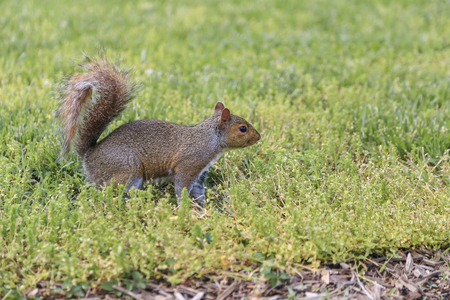 bushy: Brown squirrel stood on green grass with space and its bushy tail up in the air