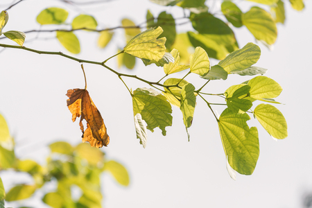 adhere: Close focus on old brown leaf hang on branch of green leaves. Old brown leaf almost fall from branch.