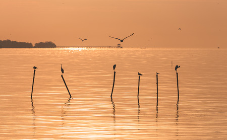 samutprakarn: Seagulls and egrets flying in the air and standing on top of wood stick over water surface during sunrise in Bangpu, Samutprakarn of Thailand.