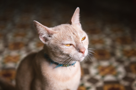 dimming: Close focus on face of angry cat dimming eyes and looking to the light Stock Photo