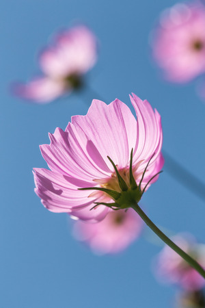 Close focus scene of pink cosmos blossom flower with bright blue sky. Stock Photo