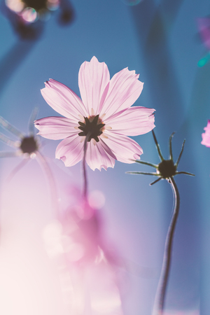 Close focus scene of pink cosmos blossom flower with bright blue sky and soft sunlight.