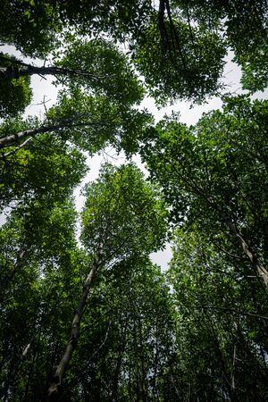 Green leaf mangrove trees expand high to cover tropical forest near the sea of gulf of Thailand.