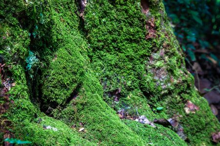 Close focus on green moss stick onto skin and root of tree inside tropical rainforest.