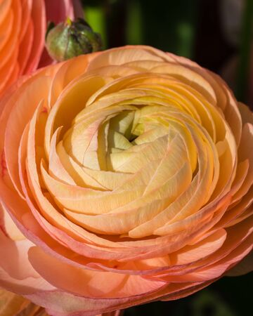 Orange ranunculus macro on green background. Spring posctacrd concept. Toned. Stock Photo