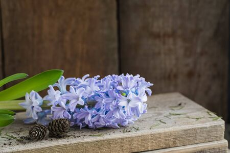 Violet hyacinth without pot on the wooden rustic background. Spring gardening concept. With pine cones.