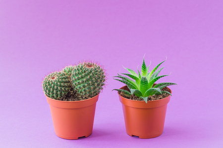 Two Green Cacti potted on ultraviolet background. Toned