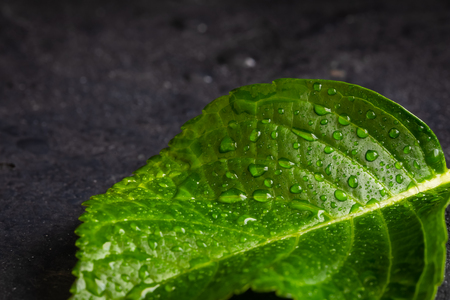 Hydrangea leaf, macro isolated, with waterdrops top view, toned