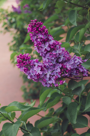 A branch of blossoming lilac in the daylight
