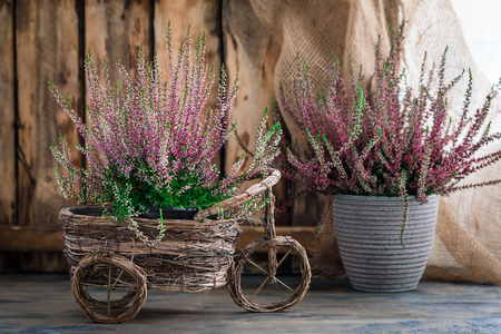 Cultivated potted pink calluna vulgaris or common heather flowers standing on wooden background, toned