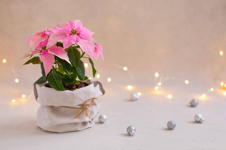 Christmas pink poinsettia potted isolated with sparkling garland, toned