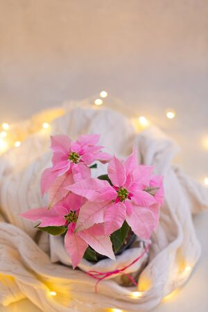 Christmas pink poinsettia potted with beige knitted pullover with sparkling garland, toned Stok Fotoğraf