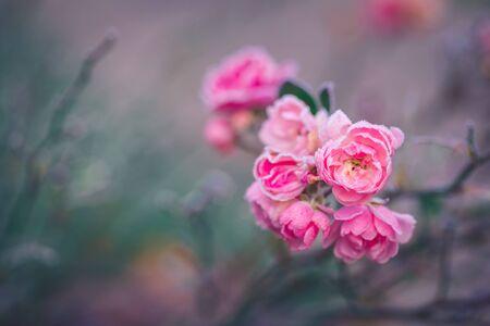 Nahaufnahme einer rosa Rose von Morgenfrost bedeckt, getönt