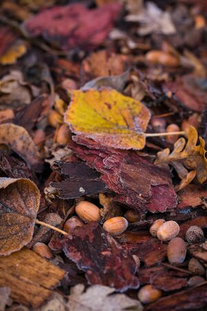 Autumn background of acorns and leaves covered with hora-frost collected under an oak tree