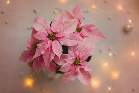 Christmas pink poinsettia isolated with sparkling garland, toned