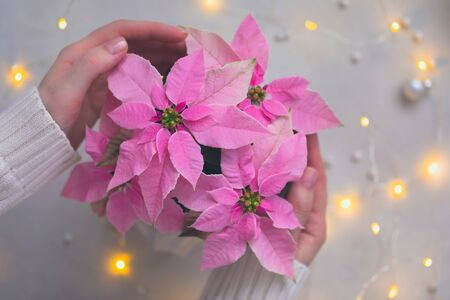 Woman hands holding Christmas pink poinsettia with sparkling garland, toned