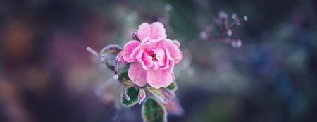 Closeup of a pink rose covered by morning frost, toned