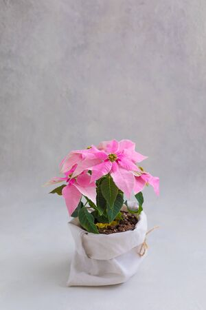 Christmas pink poinsettia potted isolated, toned 版權商用圖片