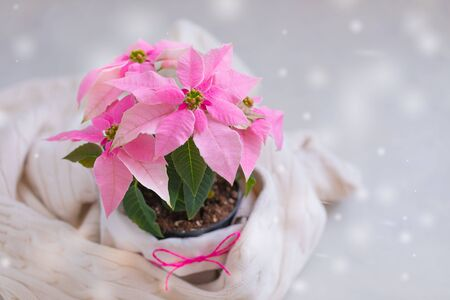 Christmas pink poinsettia potted with beige knitted pullover with snowflakes falling, toned