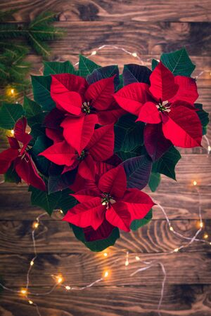 Christmas Poinsettia isolated in wooden rustic background with sparkling garland, Toned