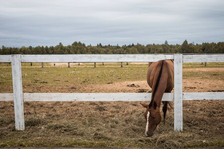 Brown thoroughbred horse eating grass over a wooden rail fence, toned Standard-Bild