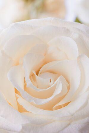 Fondo de macro de pétalos de flor de rosa beige fresco, entonado