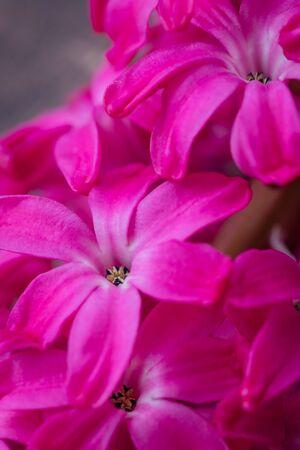 Pink fresh hyacinth flowers macro greetings postcard background, selective focus