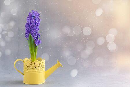 Concetto di giardinaggio primaverile con giacinto blu fresco in vaso nell'annaffiatoio giallo su fondo di legno bianco