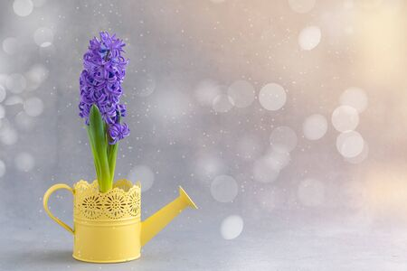 Spring gardening concept with fresh blue hyacinth potted in the yellow watering-can on white wooden background