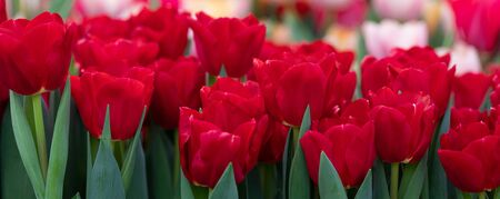 Colorful spring vivid fresh tulips flowerscape background, gardening, March 8, Easter, Mothers and Womens Day greeting concept 免版税图像
