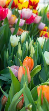 Colorful spring vivid fresh tulips flowerscape background, gardening, March 8, Easter, Mothers and Womens Day greeting concept Reklamní fotografie