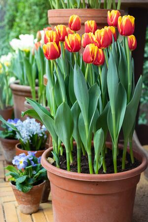 Multicolored spring tulips potted on the garden lawn, gardening, March 8, Womens Day greeting concept