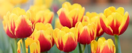 Colorful spring vivid fresh tulips flowerscape background, gardening, March 8, Easter, Mothers and Womens Day greeting concept 版權商用圖片