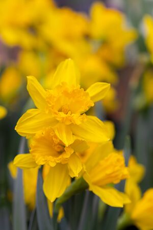 Fresh yellow blooming daffodils, 8 March, Women's, mother's Day, Easter concept