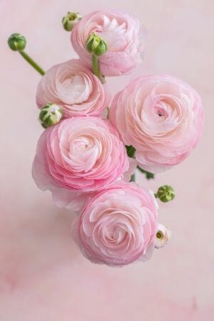 Fresh pastel pink and white blooming ranunculus flowers, top view, close up, March 8, Mother's Day, birthday background concept Standard-Bild