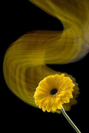 Gerbera flower of yellow color isolated on black background, close up, long exposure