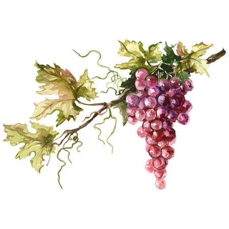Watercolor illustration of grape branch. Raster design element. Фото со стока
