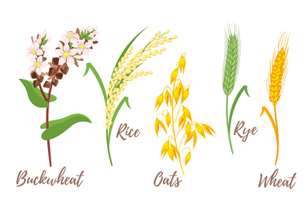 Vector cartoon style set of cereals - rice, buckwheat and oats. Grain plant isolated on white background.
