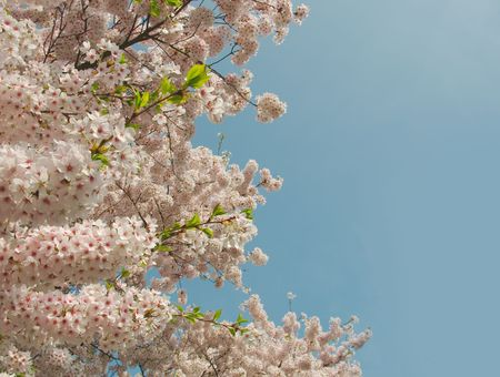 flower tree: Pink appletree flowers against blue spring sky. Vertical composition with space for text