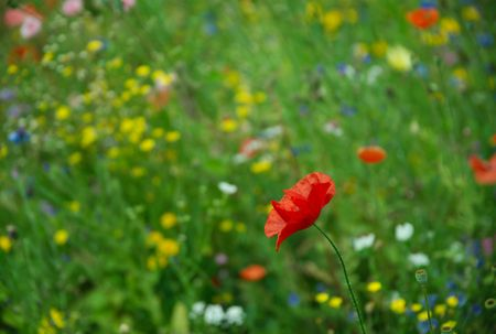 green meadow: Single red poppy Papaveraceae against bright meadow flower background