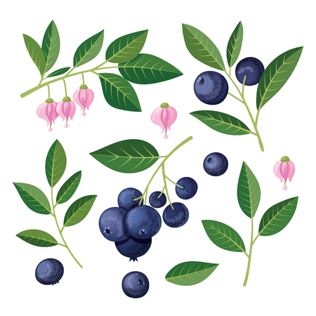 Blueberries Set of elements. illustration on white background.