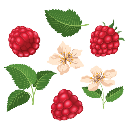 Raspberry set with leaves and blossoms. Vector illustration Ilustrace