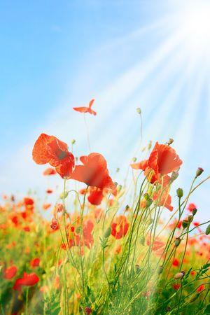 poppy field: Papaverbolkaf gebied achtergrond met zonlicht