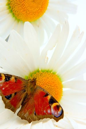 Butterfly and camomile flowers background photo