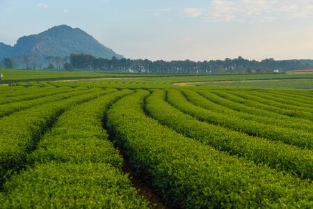 filed: Tea field in the morning, Chiang Rai
